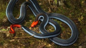 Dubbed the 'killer of killers', the snake's vibrant blue body and red head is a sight to behold (Tom Charlton)