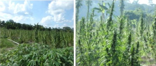 Some of the cannabis planted at Hofwerk and Gatetroy, Berbice River